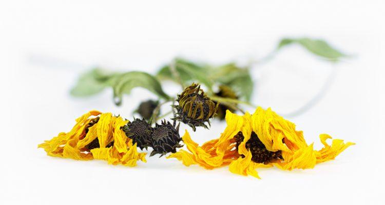 Suszone kwiaty arniki górskiej. Fot. Istockphoto.com