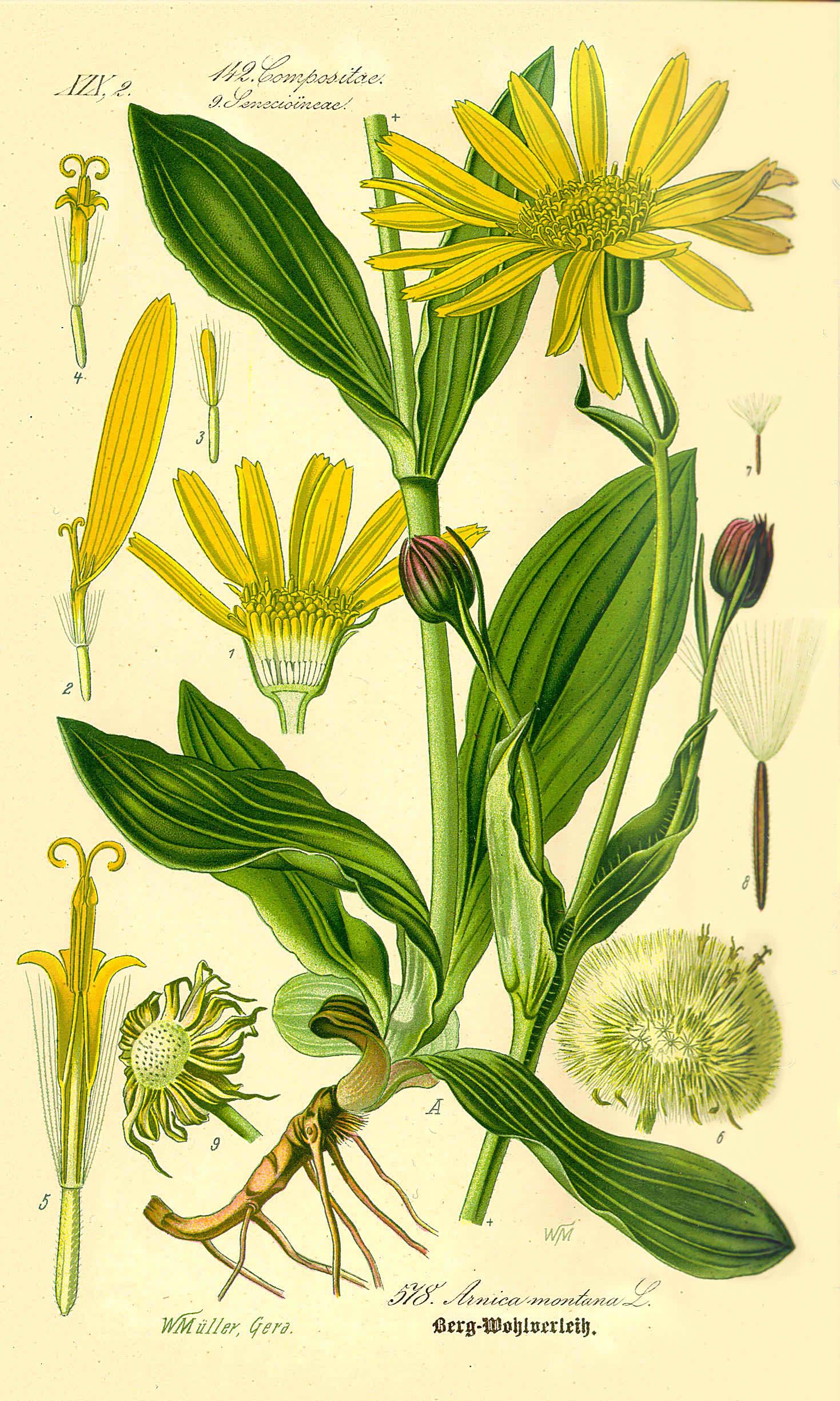Fot. Wikimedia. Za: Prof. Dr. Otto Wilhelm Thomé Flora von Deutschland, Österreich und der Schweiz 1885, Gera, Germany